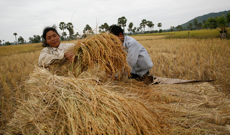Cambodia exports almost 1 million tonnes of rice paddy to Vietnam in six months