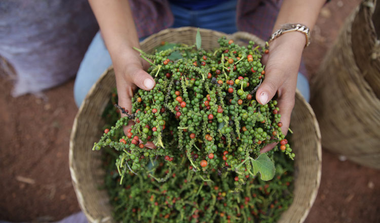 Pepper plantation expected to increase this year