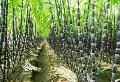 'World's Largest' Sugarcane Factory to Open in Preah Vihear Next Month